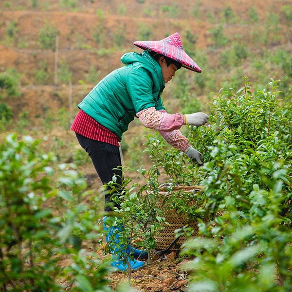Master Huang's tea garden